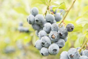blåbær raw 7623 kopi 3 a