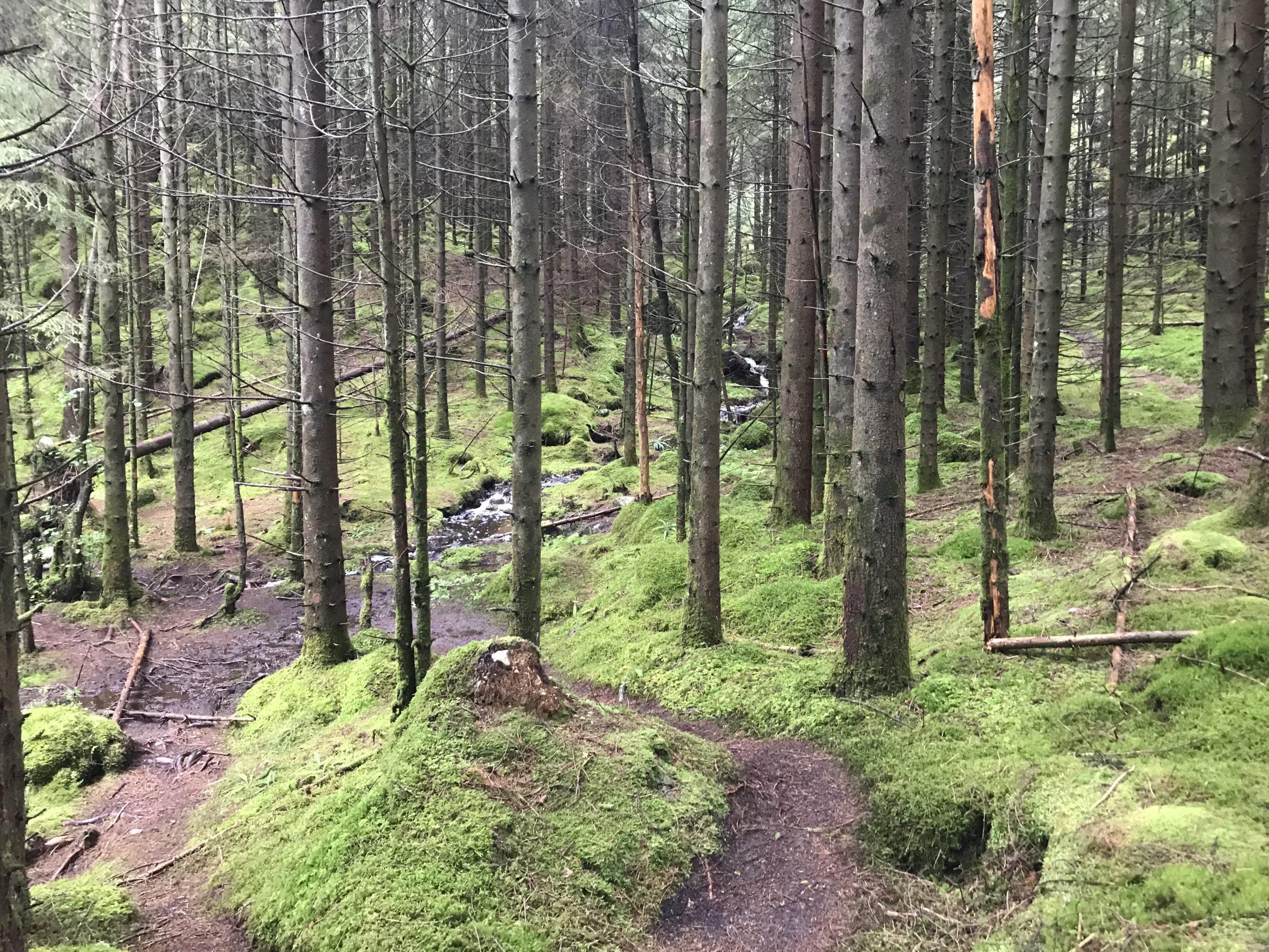 Tursti og bekk slyngar seg på ulikt vis gjennom granskogen.