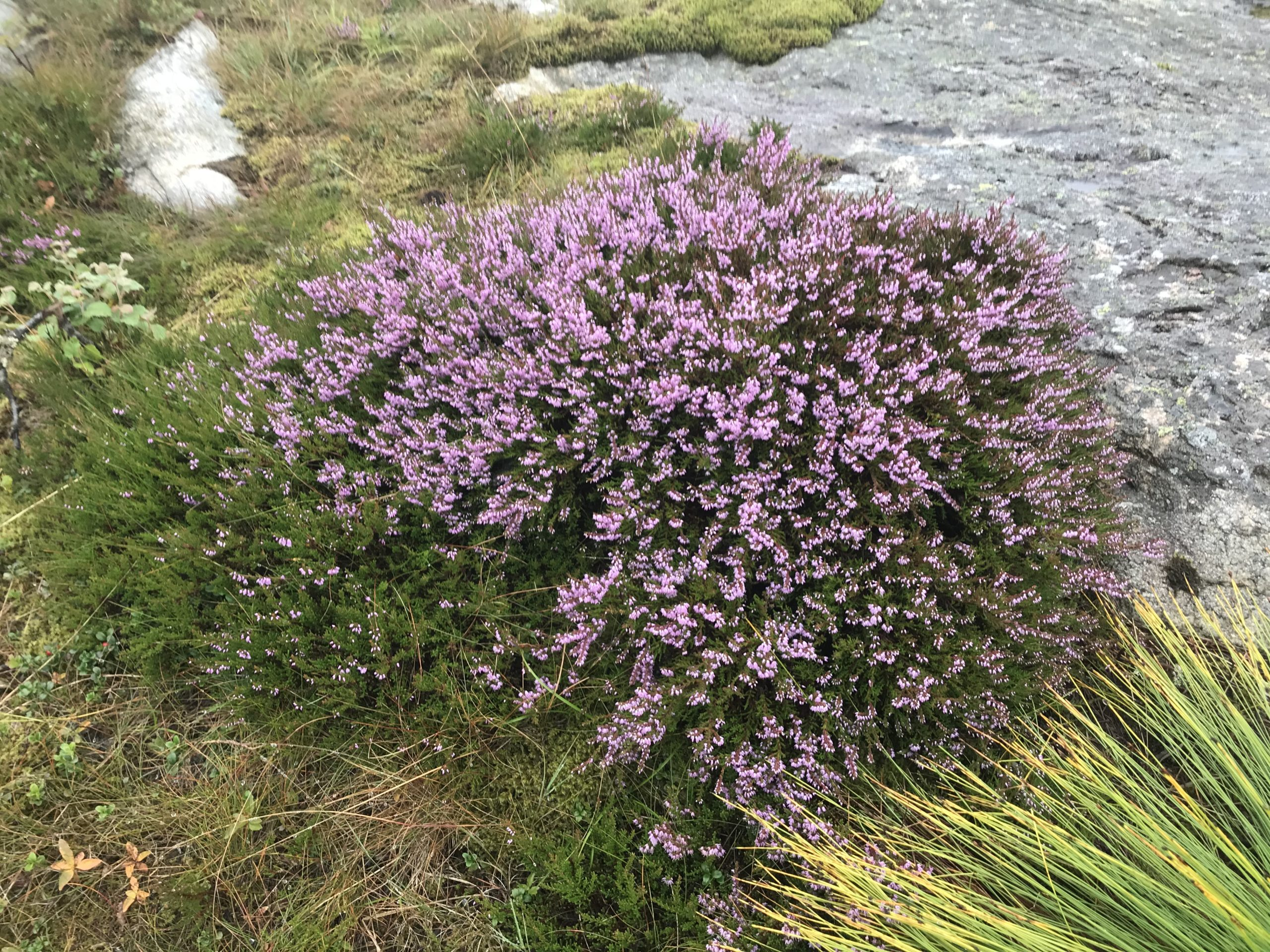 Røsslyngen har alt teke til å visa fram sine purpurraude blomar.