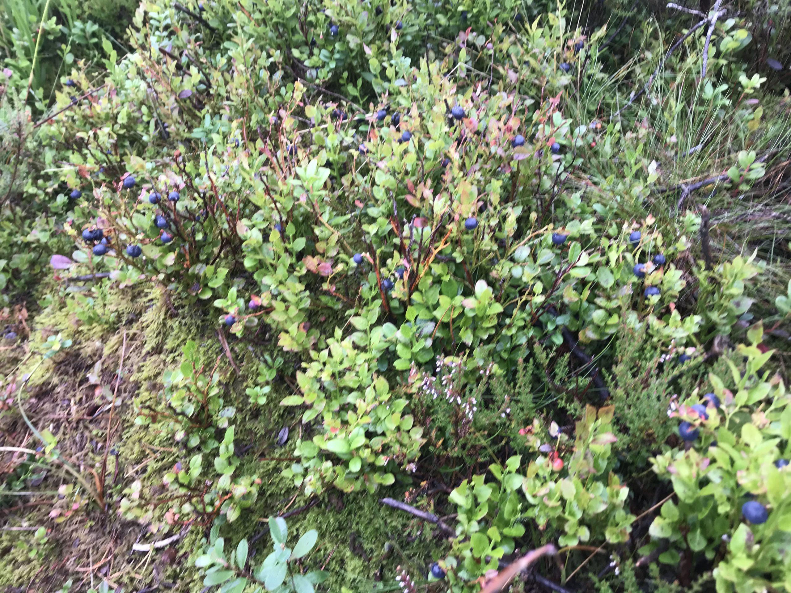 Sjølv om skodda kan hindra utsynet frå toppen lyser blåbærtuene opp.